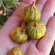 Mini Green Pumpkins - Set of 4