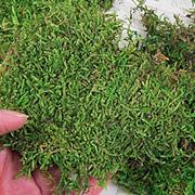 Sheet Moss*