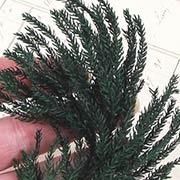 Mini Pine Fern