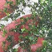Variegated Green Vines